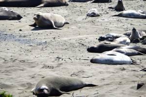 seal elephants' rookery