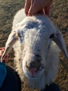 a pet-sheep